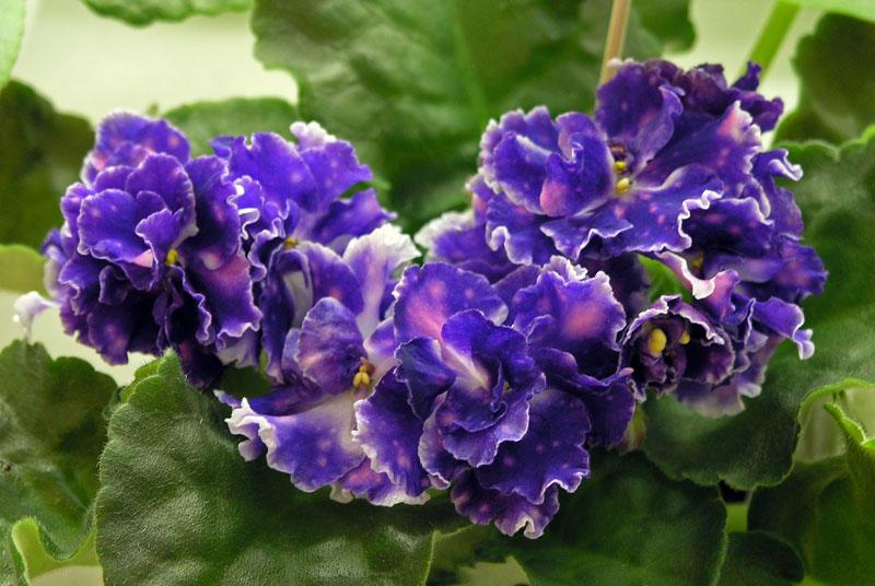 Цветы фиалки вида Чудо гороховое