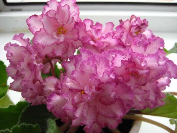Ян менуэт во время цветения