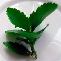Как выглядит росток каланхоэ