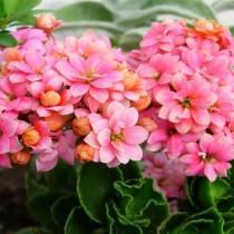 Цветущее каланхоэ с пересадкой