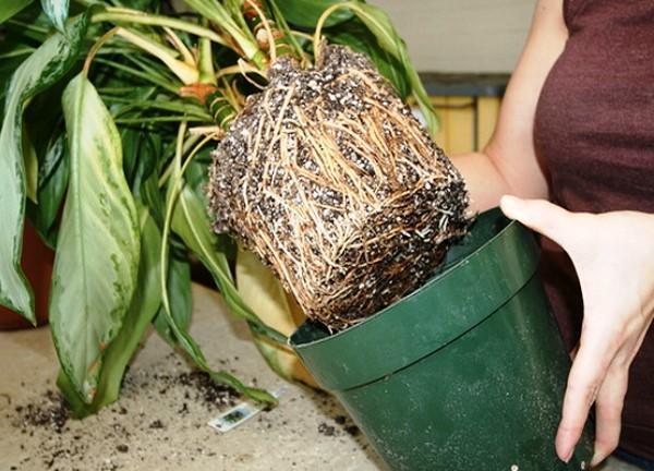 Девушка достает растение из горшка