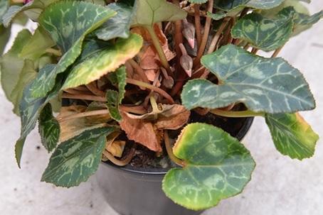 Болезни листьев цикламена в горшке