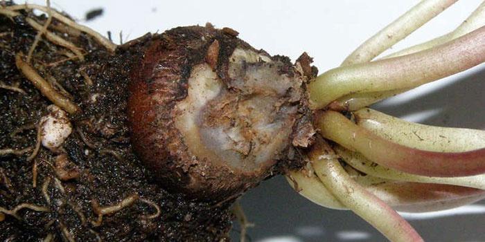 Размножение растения при помощи клубней