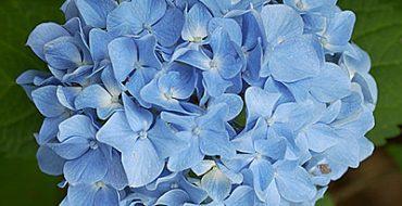 Соцветие сорта Nikko Blue крупным планом