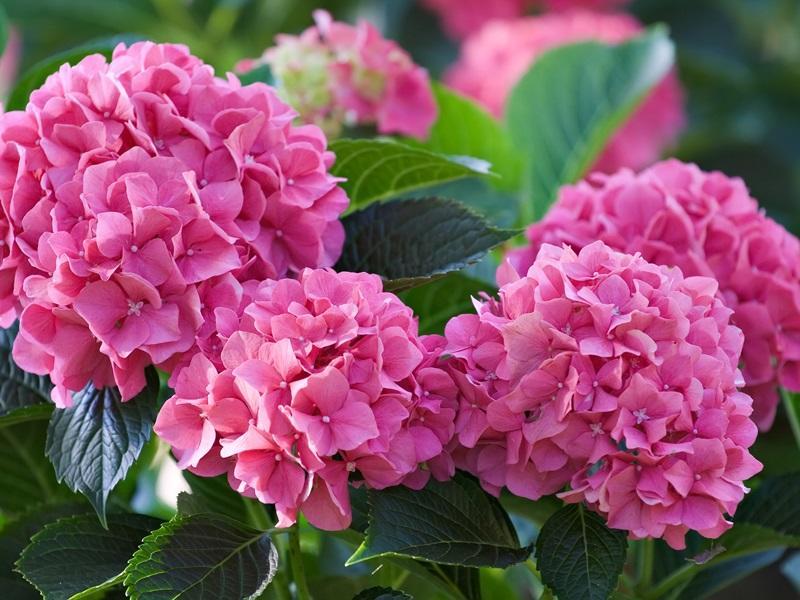 Ярко-розовая гортензия садовая