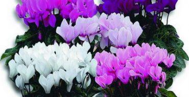 Разные сорта цветка Cyclamen