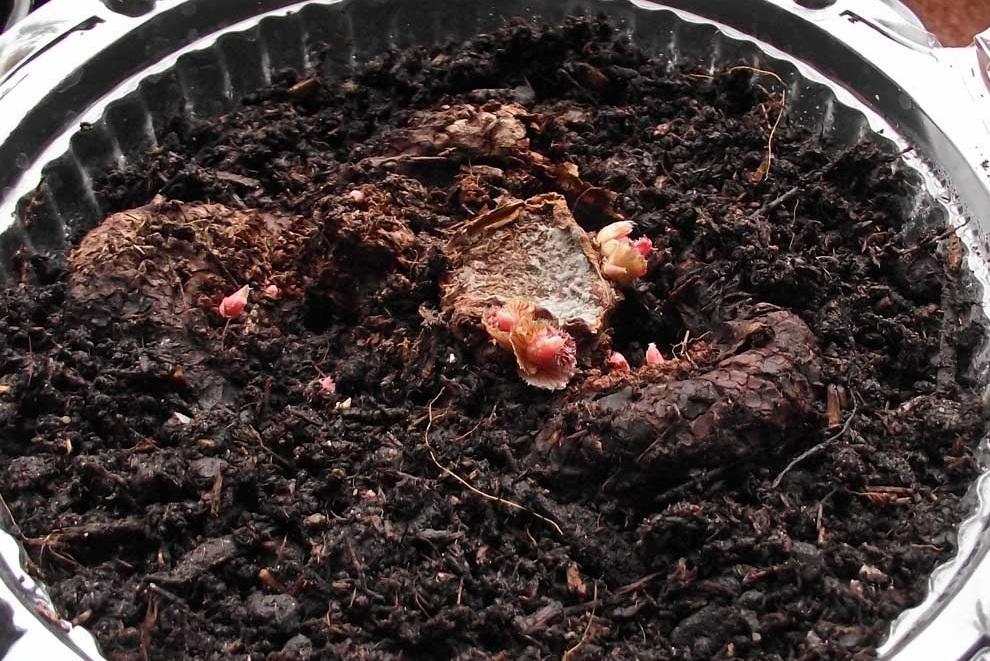 Размножение и выведение при помощи клубней