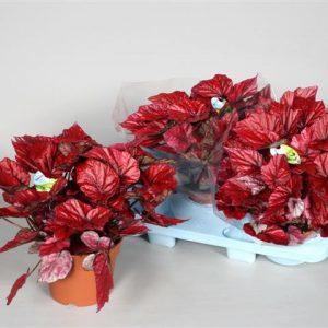 Красивые ярко-красные цветы бегонии