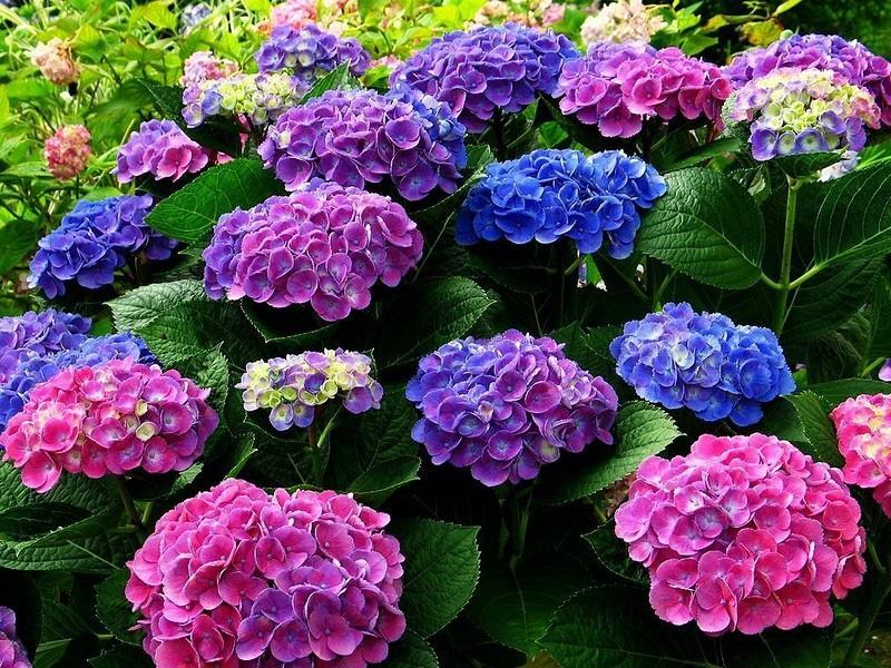 Садовая гортензия в трех цветах