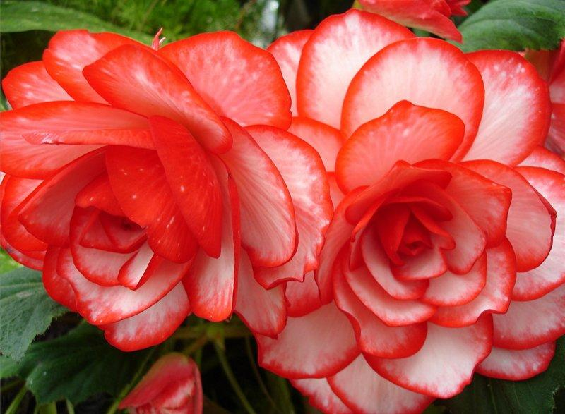 Крупные алые лепестки цветка