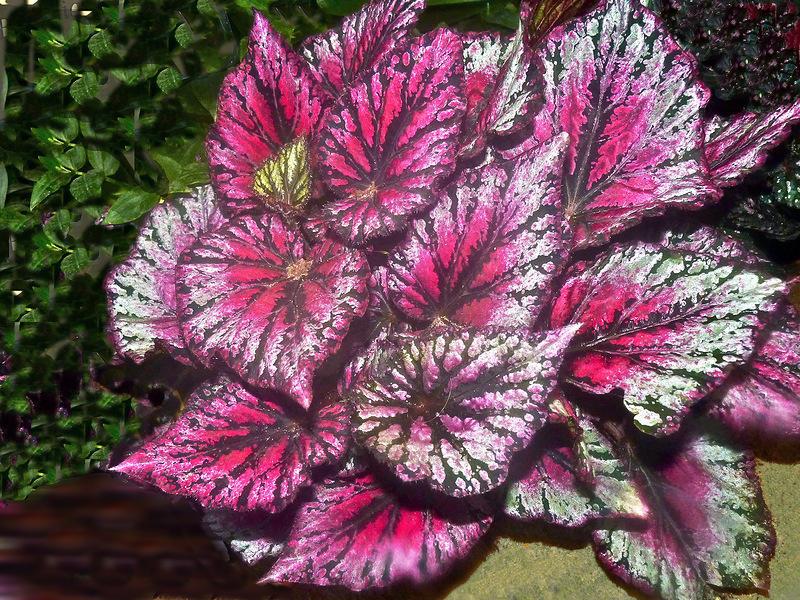 Сорт Begonia Королевский в горшке