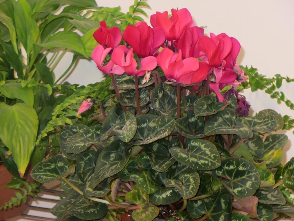 Цветущий цветок Cyclamen фото