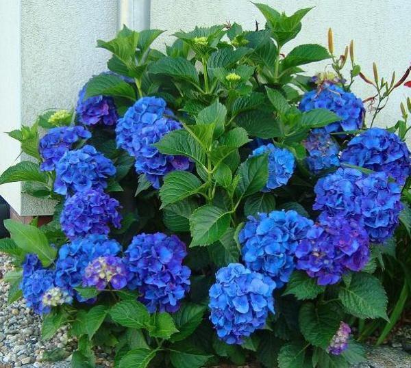 Hydrangea сорта Nikko Blue