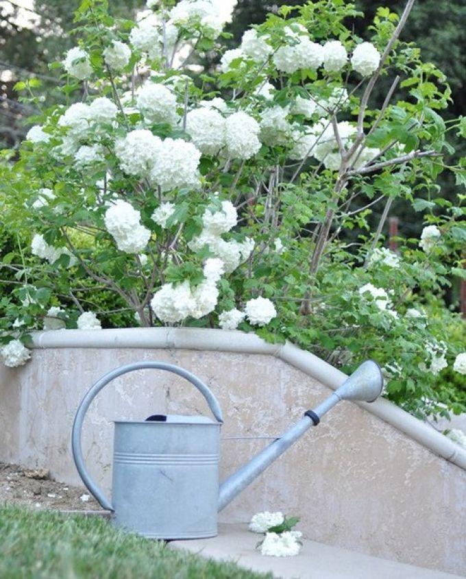 Лейка около кустовидной белой гортензии