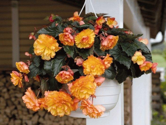 Begonia в подвесном горшочке