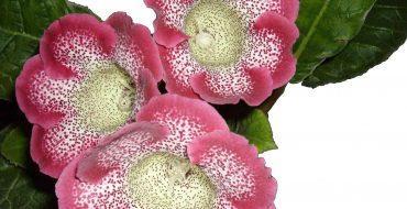 Begonia - красивое соцветие растения