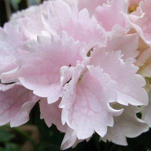 Гортензия крупнолистная розового цвета