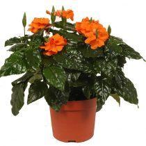Горшок с цикламеном оранжевого цвета