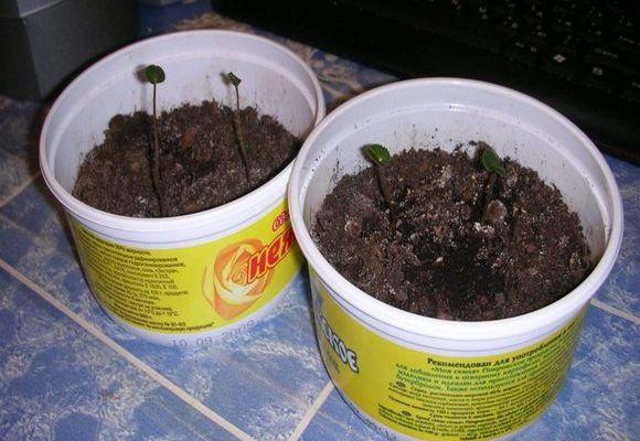 Молодые растения в пластиковых баночках
