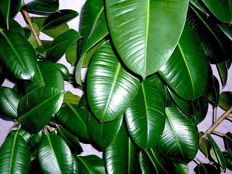 Огромные зеленые листья фикуса