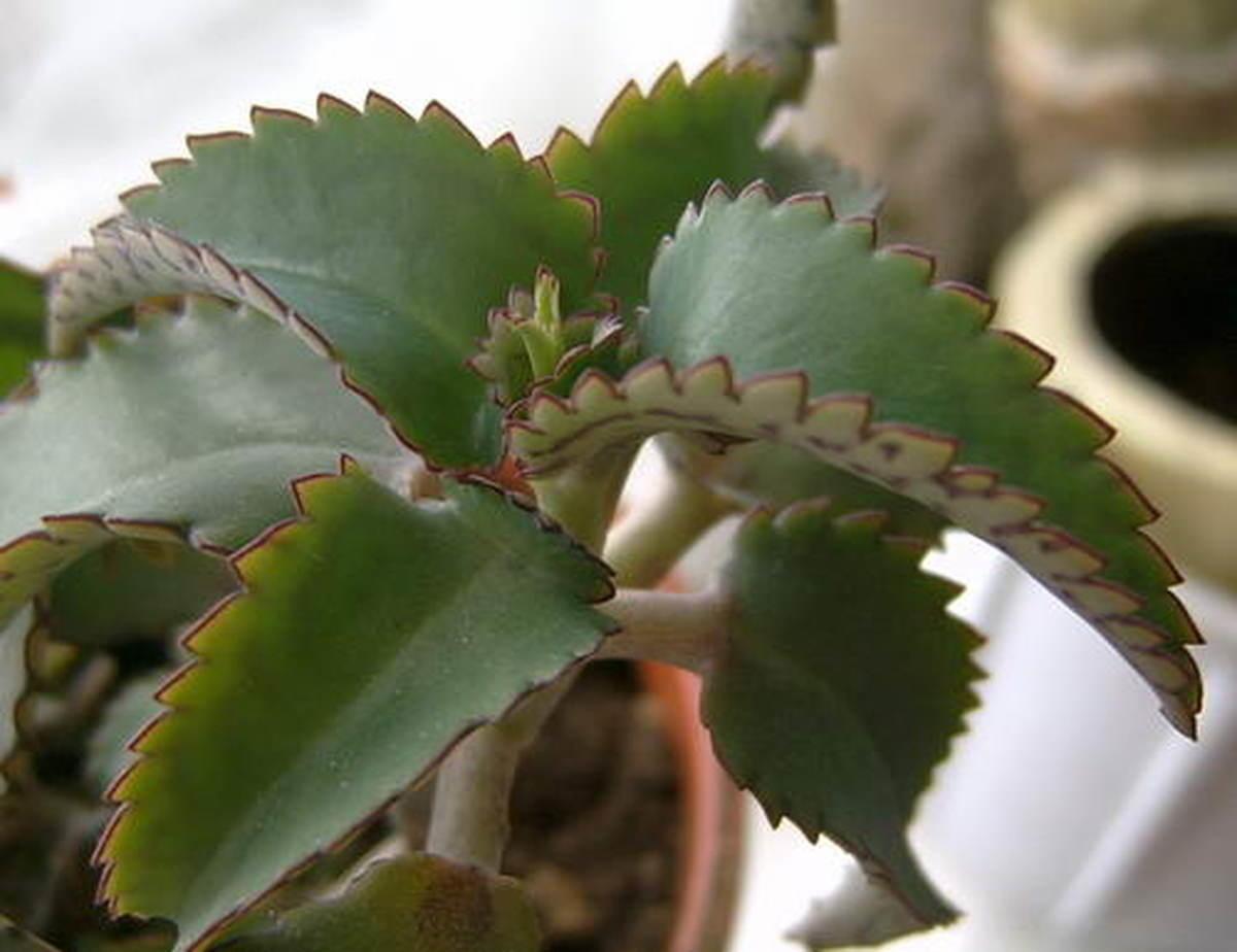 Сорт Дегремона с больными листьями
