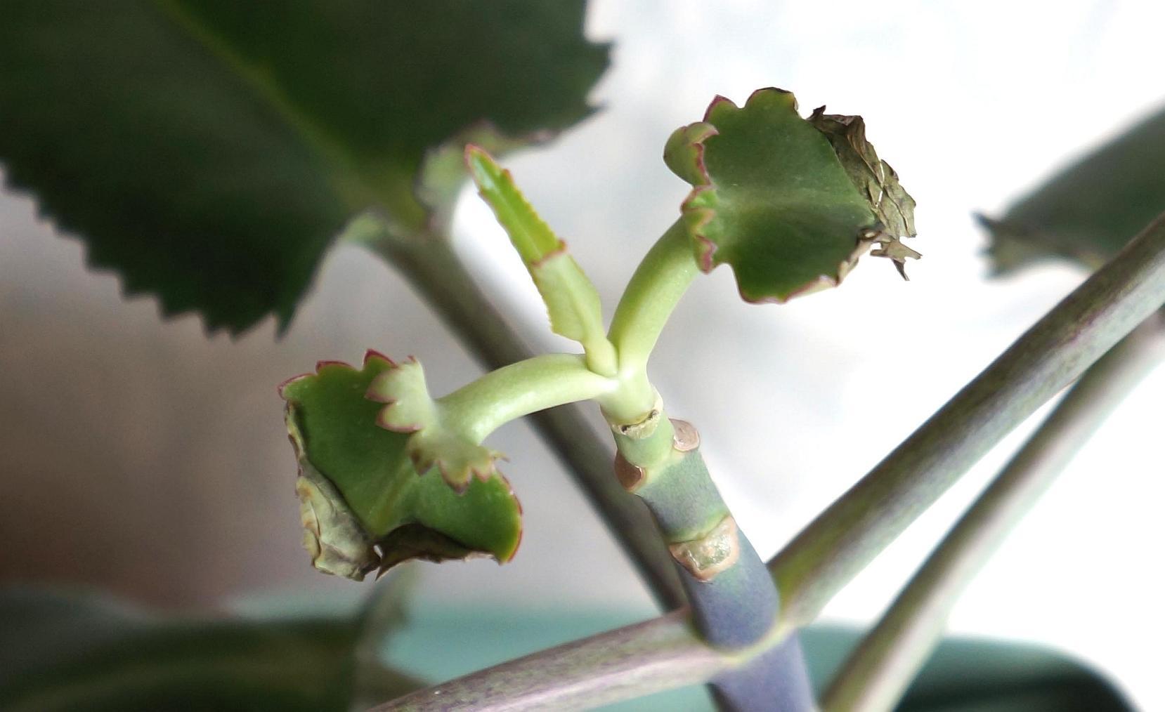 Почему у каланхоэ желтеют и сохнут листья: основные причины [2019]