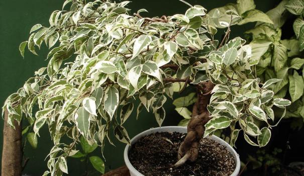 Красивое растение с пожелтевшими листьями