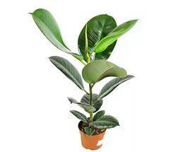 Фикус Робуста с широкими листьями