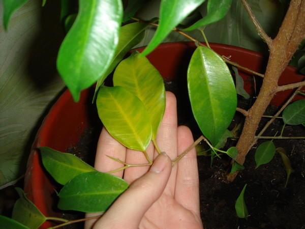 Как выглядят пожелтевшие листья