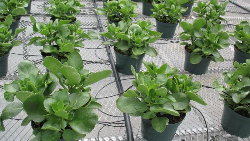 Правильное выращивание каланхоэ на фото