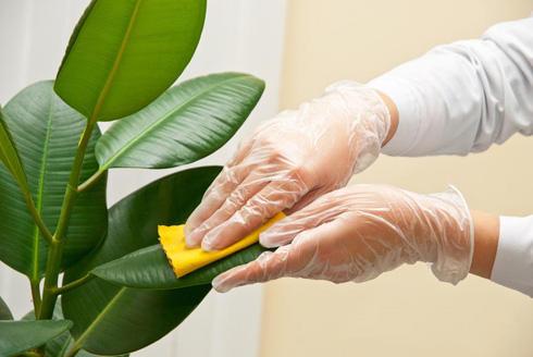 Как правильно протирать листья