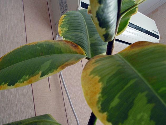 Листья фикуса пожелтели по краям