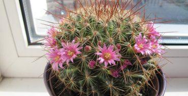 Кактус с маленькими цветочками в горшке