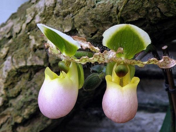Орхидея на своем участке