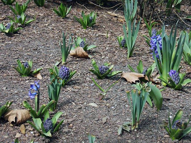 Как выглядят гиацинты после цветения