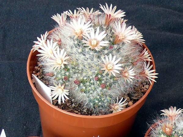 Кактус цветущий белыми цветами
