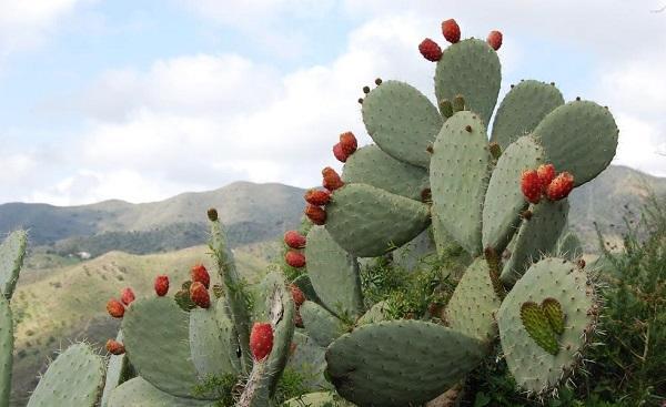 Кактус с плодами в природе
