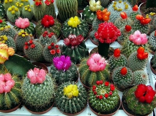 Декоративные кактусы с цветами