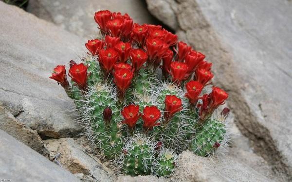 Кактус, растущий в природных условиях