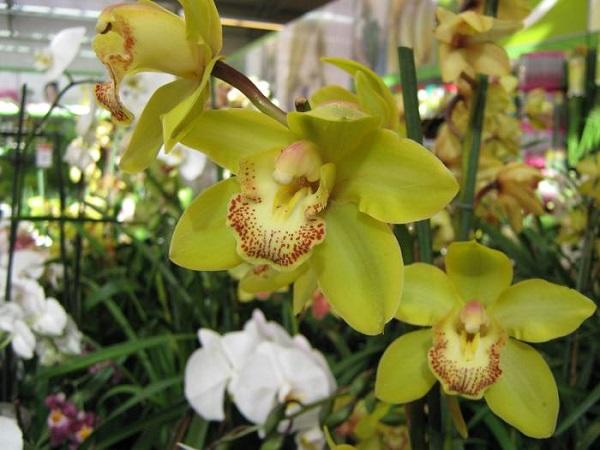 Желтые орхидеи в оранжерее