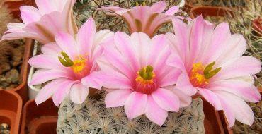 Крупные розовые цветы кактуса