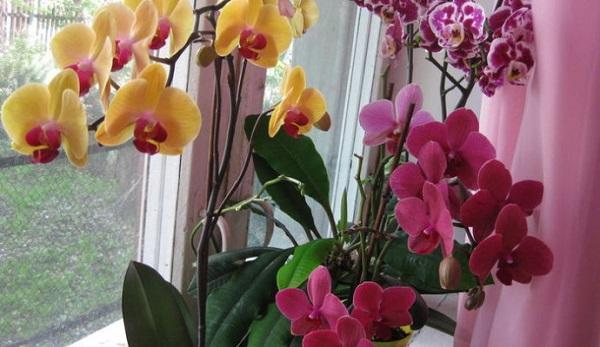Орхидея в горшках на окне