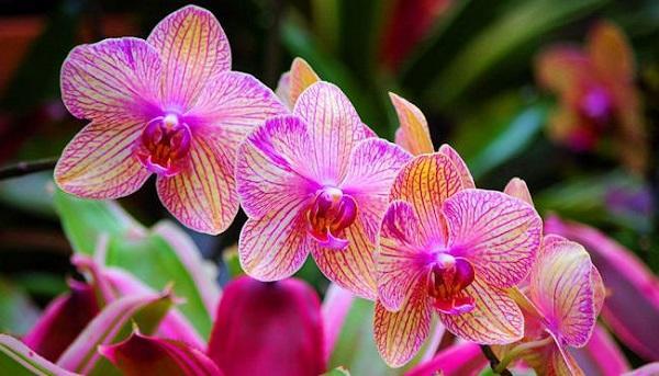 Розовые цветы орхидеи дома