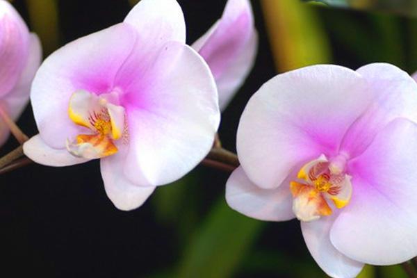 Цветущая орхидея дома