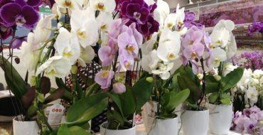 Большое разнообразие орхидей в горшках