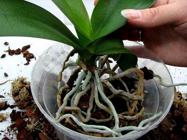 Пересадка орхидеи в новый горшок