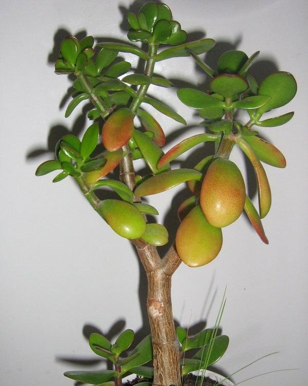 Покраснение листьев толстянки