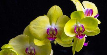 Желтая орхидея цветы