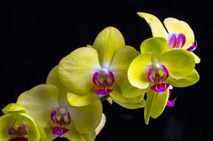 Цветы желтой орхидеи крупным планом