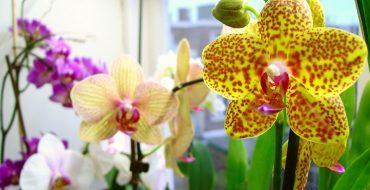 Выращивание дома орхидеи Фаленопсис